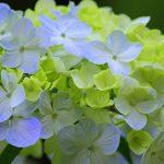 滋賀県のあじさい祭・名所 2019年の開催時期や見ごろ・開花情報