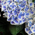 栃木県のあじさい祭・名所 2019年の開催時期や見ごろ・開花情報