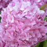 福岡県のあじさい祭・名所 2019年の開催時期や見ごろ・開花情報