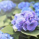 長崎県のあじさい祭・名所 2018年の開催時期や見ごろ・開花情報