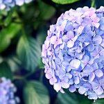 北海道のあじさい鑑賞スポット・名所・穴場 2019年の見ごろ・開花・紫陽花祭り情報