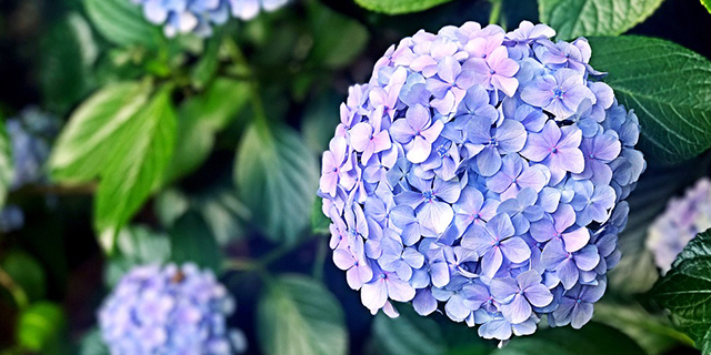 紫陽花 北海道