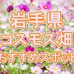 岩手県(東北) 秋桜コスモス畑・名所・穴場 おすすめ人気スポット 2018年の見ごろは?