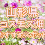 山形県(東北) 秋桜コスモス畑・名所・穴場 おすすめ人気スポット 2018年の見ごろは?