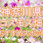 神奈川県(関東) 秋桜コスモス畑・名所・穴場 おすすめ人気スポット 2018年の見ごろは?