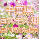 千葉県(関東) 秋桜コスモス畑・名所・穴場 おすすめ人気スポット 2018年の見ごろは?