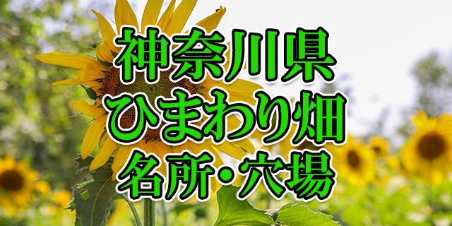 ひまわり畑 神奈川県