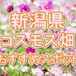 新潟県(北陸) 秋桜コスモス畑・名所・穴場 おすすめ人気スポット 2018年の見ごろは?