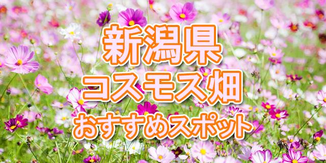 コスモス 新潟県