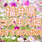 福井県(北陸) 秋桜コスモス畑・名所・穴場 おすすめ人気スポット 2018年の見ごろは?