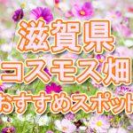 滋賀県(関西)コスモス畑・名所・穴場 おすすめ人気スポット 2018年の見ごろは?