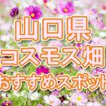 山口県 コスモス畑・名所・穴場 おすすめ人気スポット 2018年の見ごろは?