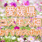 愛媛県(四国)コスモス畑・名所・穴場 おすすめ人気スポット 2018年の見ごろは?