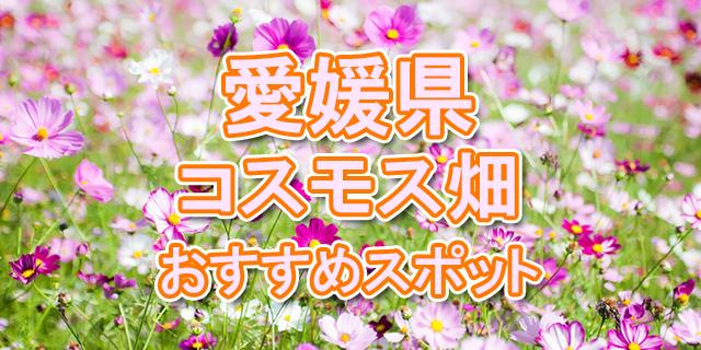 コスモス畑 愛媛県