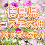 徳島県(四国)コスモス畑・名所・穴場 おすすめ人気スポット 2018年の見ごろは?