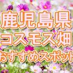 鹿児島(九州)コスモス畑・名所・穴場 おすすめ人気スポット 2019年の見ごろは?